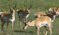 Band of Pronghorn